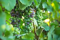 Penner Ash Winery near Newburg, Oregon.