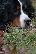 Our Bernese Mountain Dog, Buck is just laying down relaxing in the cool muddy yard.