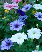 Garden Petunia flowers