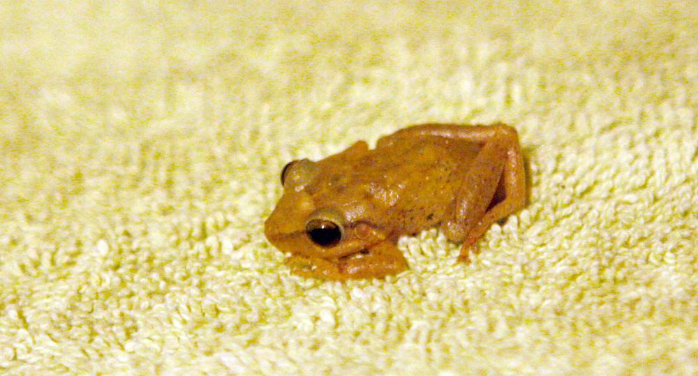 Coqui Frog, Puerto Rico