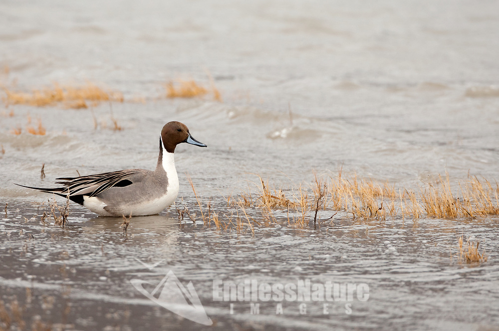 A Northern Pintail rests at the side of a Utah marsh in the rain on a windy day.