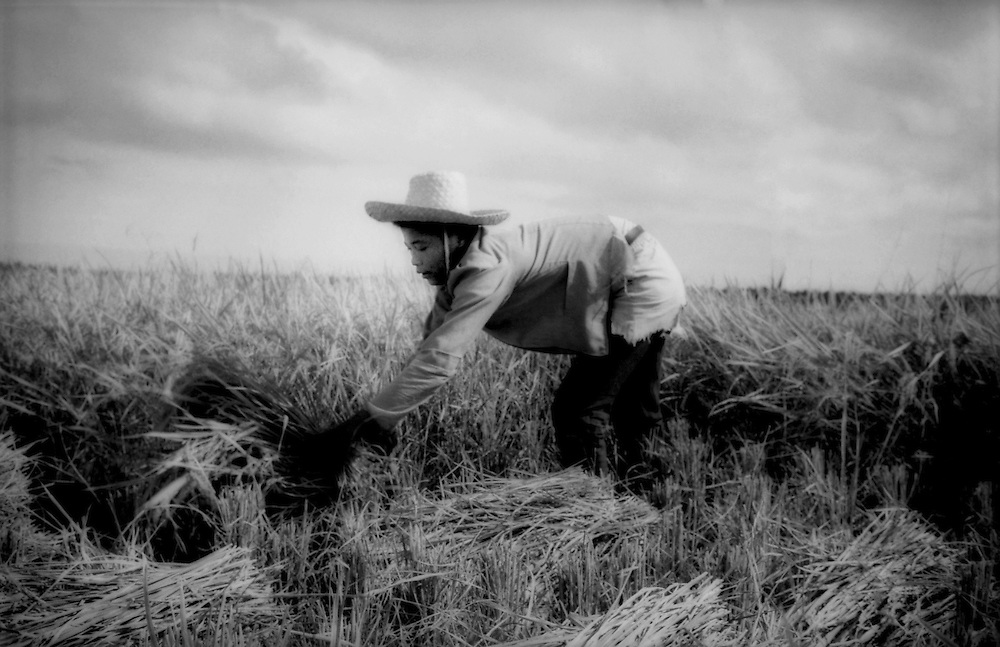 Harvesting rice the old way in Mindanao, Philippines.