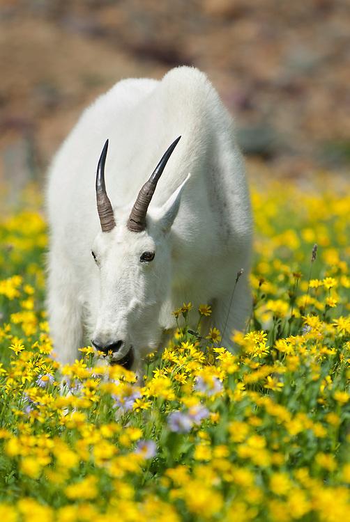 A lone mountain goat (Oreamnos americanus) eating alpine wildflowers, Northern Montana