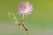 "BATAM, INDONESIA - <br /> <br />  A set of photographs by Photographer Usman Priyono shows ants raising flowers  in Batam, Riau Islands Province, Indoneisa.<br /> <br /> Usman Priyono, 22 years old, began studying photography since 2014 he was very fond macro photography  ""I want to know better about the insects, insects existing in the environment around me, who have exceptional beauty, I think mandatory to be in the know "".<br /> Set macro photos because ""This idea comes by itself, the purpose of my photos so that people know that in the environment in which we live, there is a beauty that we do not know, especially insects<br /> they have tremendous power even though his body is so small but can lift a load that is larger than its body. <br /> ©Usman Priyono / Exclusivepix Media"