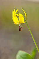 There is some variety among individual populations of the glacier lily. In Wyoming, individuals have reddinsh/rusty brown anthers as seen here, and some populations I've seen elsewhere in the United States have pure white anthers, even though they are the same species.