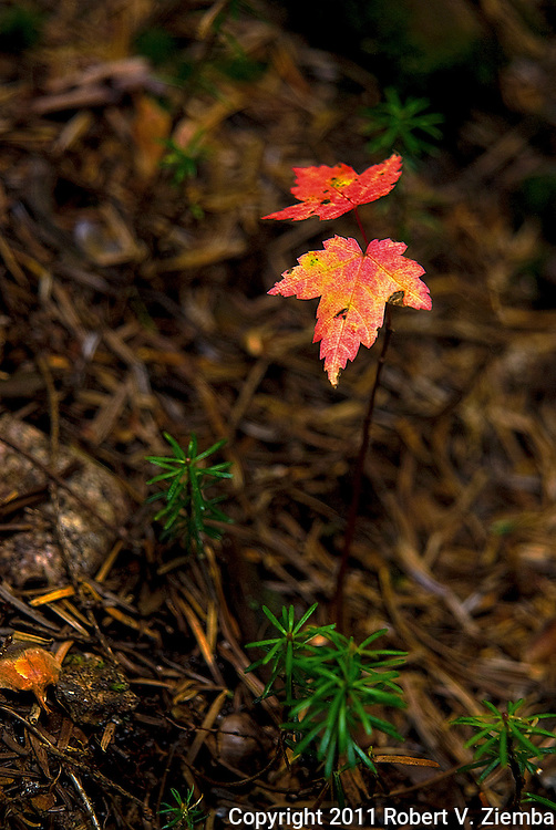 """Infants of the Forest""-A close-up image of red maple and balsam fir seedling trees in the forest with a shallow depth of field."