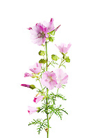 IFTE-NB-007615; Niall Benvie; Musk mallow; Malva; moschata; Europe; Austria; Tirol; Fliesser Sonnenhänge; vegetation flowering plant; vertical; high key; pink white green; wild; grassland meadow woodland edge; 2008; July; summer; strobe backlight; Wild Wonders of Europe Naturpark Kaunergrat