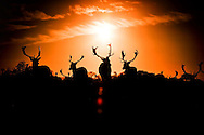 13/12/13 Deer at sunset in Dublin's Phoenix Park this afternoon Pic: Marc O'Sullivan