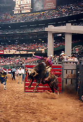 Cowboy riding a bull coming out of the gate