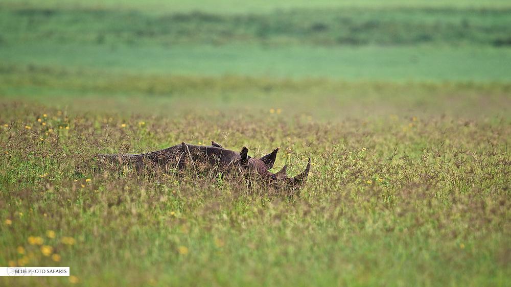 Black rhino in high grass, Ngorongoro Crater