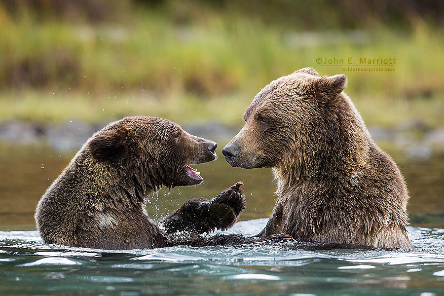A grizzly mother and cub playfighting in the water, British Columbia
