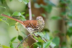 A Brown Thrasher (Toxostoma rufum) gathers nesting materials in Charlottesville, VA.