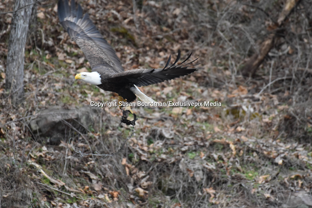 "Amazing images of Bald Eagle that flew For DAYS With A Trap On His Leg <br /> <br /> Few devices in use today are as cruel, deadly and indiscriminating as leghold traps — their steel jaws set to snap down on any animal unfortunate enough to land a limb within range of its powerful bite.<br /> <br /> Though countless animals die in these traps each year, their suffering is almost aways seen only by the one who caused it. On Sunday, Susan Boardman was out with her husband near their home in Bonneauville, Pennsylvania, when they spotted a bald eagle on the ground in the distance. While normally such a sighting might inspire wonder and humility, opposite feelings arose as the eagle took flight.<br /> <br /> It was then that they noticed the trap latched tight on the eagle's talon — evidence of an attempt on his life, which he somehow managed to overcome.<br /> <br /> ""It was heartbreaking to see him like this,"" said Boardman<br /> <br /> In this instance however, the horror of this device was visible for all to see. And so, too, was the extraordinary perseverance of one creature caught in its grip. Even in this predicament, the bald eagle managed to fly away. Boardman alerted wildlife officials and others that help was needed to save him.<br /> <br /> After seeing Boardman's photos, local birdwatchers and wildlife experts spent the following days trying to track down the imperilled eagle, fearing he would soon starve to death or perish from what appeared to be a possible infection on his talon. Then they found him.<br /> <br /> On Wednesday, the bird was discovered perched high in a nest alongside his mate, with that cruel trap still attached.<br /> <br /> For birdwatcher Karen Lippy, who first spotted him there, his insistence on staying alive clearly had been driven by something bigger than himself.<br /> <br /> ""He ignores his own issues to take care of family,"" said Karen Lippy <br /> ""He is strong. He is courageous. He is stubbornly single-minded.""<br /> As state officials were deciding how best to proceed in removing the trap, something remarkable happened — the bald eagle be"