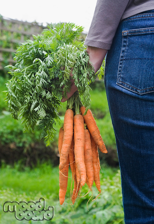 Woman holding bunch of carrots in garden mid section back view