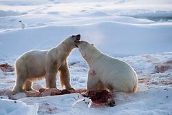 Fighting Polar bears (Ursus maritimus) and Ivory gull (Pagophila eburnea) on drifting ice at 82 degree North in September, Svalbard, Norway