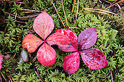 Bunchberry (Cornus canadensis, or Dwarf Dogwood, Dwarf Cornel, or Crackerberry) foliage turns red in mid September, contrasting with a bed of green moss, in Jasper National Park, Canadian Rockies, Alberta, Canada. Jasper is the largest national park in the Canadian Rocky Mountain Parks World Heritage Site declared by UNESCO in 1984.