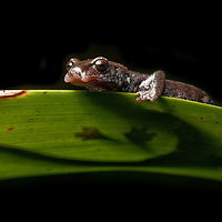 salamander from the Pseudoeurycea cephalica complex in Sierra Gorda, Queretaro Province, Mexico