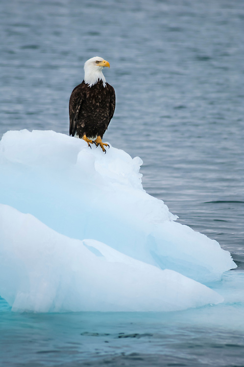 Bald eagle on floating iceberg, Prince William Sound, Alaska.