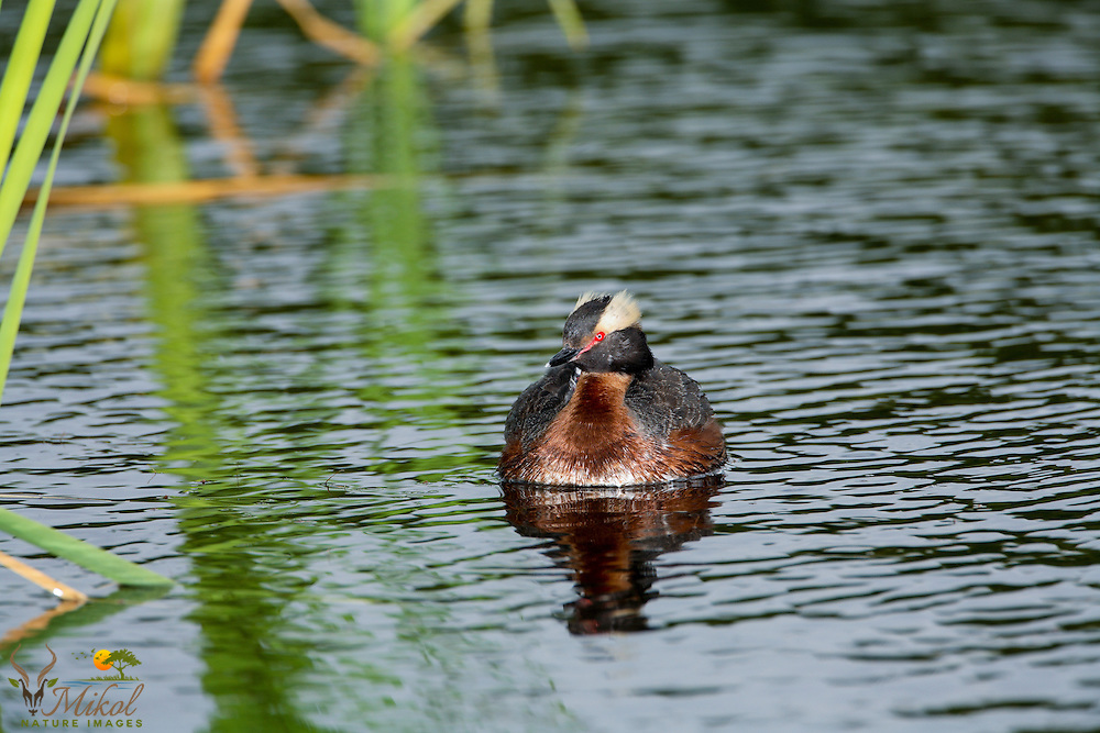 Horned Grebe with Chick hiding on back frontal view