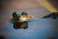 This bullfrog is peaking up out of one of the ponds at Tanglewood Nature center in Upstate, NY.