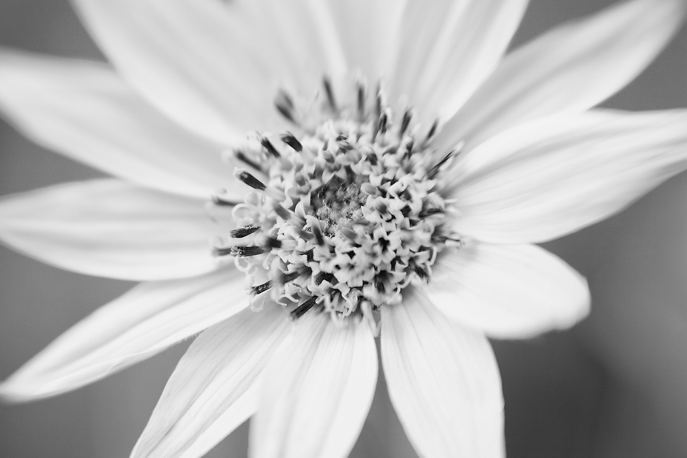 Daisy Close Up - Mammoth Terrace Hot Springs - Yellowstone National Park - Infrared Black & White - Lensbaby