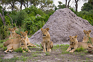 A group of lions (Panthera leo) near a termite mound in the Okavanga Delta region of Botswana. http://www.gettyimages.com/detail/photo/group-of-african-lions-botswana-royalty-free-image/182986702