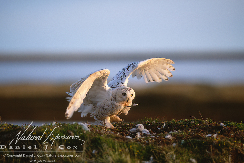 Snowy Owl (Bubo scandiacus) adult on a nest with its chicks. Barrow, Alaska