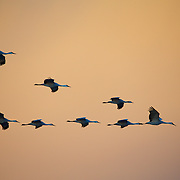 """Sandhill Cranes in a """"Flying V"""" formation as they cruise the early morning skies"""