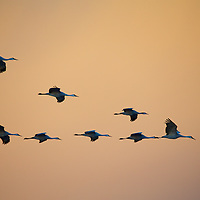 "Sandhill Cranes in a ""Flying V"" formation as they cruise the early morning skies"