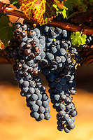 Wine grapes, Harvest time at Kleine Zalze Wines, Stellenbosch, Cape Winelands, South Africa.