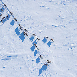 Members of the porcupine caribou herd are migrating to the Arctic National Wildlife Refuge on the south side of the Brooks Range, Alaska