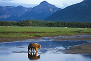 Alaskan Brown Bear<br /> Ursus arctos middendorffi<br /> Sub-adult crossing water at sunset<br /> Katmai National Park, Alaska, USA