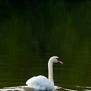 A white swan swimming on the river Don in Yorkshire, England.