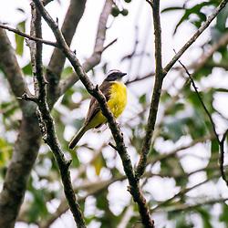 """""""Bentevizinho-de-asa-ferrugínea (Myiozetetes cayanensis) fotografado em Domingos Martins, Espírito Santo -  Sudeste do Brasil. Bioma Mata Atlântica. Registro feito em 2013.<br /> <br /> <br /> <br /> ENGLISH: Rusty-margined Flycatcher photographed in Domingos Martins, Espírito Santo - Southeast of Brazil. Atlantic Forest Biome. Picture made in 2013."""""""
