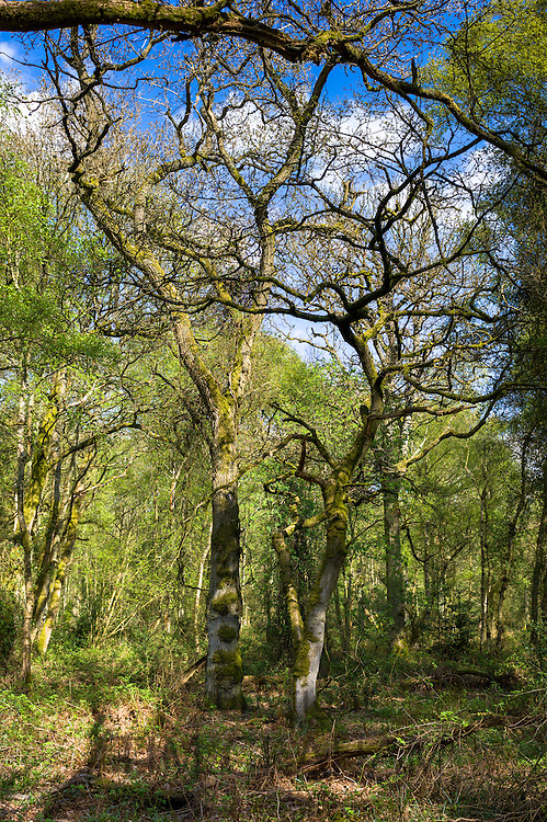 Woodland scene of silver birch trees, Betula pendula at Bruern Wood in The Cotswolds, Oxfordshire, UK