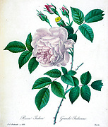 19th-century hand painted Engraving illustration of a China Rose. Rosa chinensis [as Rosa indica] by Pierre-Joseph Redoute. Published in Choix Des Plus Belles Fleurs, Paris (1827). by Redouté, Pierre Joseph, 1759-1840.; Chapuis, Jean Baptiste.; Ernest Panckoucke.; Langois, Dr.; Bessin, R.; Victor, fl. ca. 1820-1850.