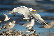 A royal tern flies low over a flock of shorebirds, Puerto Vallarta, Mexico