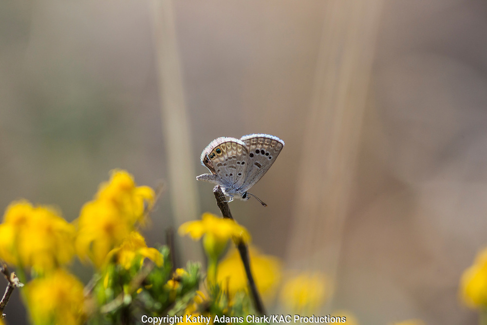 Reakirt's Blue butterfly; Echinoargus isola; Hemiargus isola; Big Bend National Park; Chihuahuan Desert; Texas in summer.