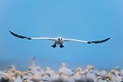 Northern Gannet (Gannet Morus bassanus) in  flight over colony on Bonaventure Island off theAtlantic Ocean.<br />Parc national de l'Île-Bonaventure-et-du-Rocher-Percé <br />Quebec<br />Canada