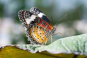 Malay Lacewing butterfly
