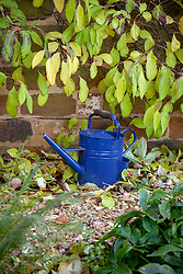 Blue watering can under Schisandra grandiflora 'Rubriflora' - Chinese magnolia vine.
