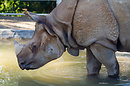 A rhinoceros wades through water at the San Diego Zoo