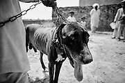 """A gull-ter dog is out of his hut in the countryside. The 3 years old dog will die from here to few weeks, because the bad conditions of care. Most of the dogs fighting who are not good champions have a short life, because for their owners is more important the honor due to victories. Suburbs in Rawalpindi, Pakistan, on thursday, August 28 2008.....According to the Islamic tradition, angels do not enter a house which contains dogs. Even if they are considered """"ritually unclean"""" by the jurists, the fighting dogs of Pakistan are tolerated by institutions and by believers alike. These mastiffs are grown and trained explicitly for these matches. Spectators in this area flock-in from nearby villages whenever a famous dog is scheduled to enter the arena. And this is more than just a show: entire families base their social esteem on the results of such bloody confrontations."""