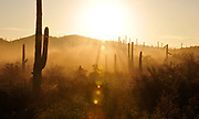 Early morning fog descends on aguaro cactus in the foothills of the Tucson Mountains of the Sonoran Desert, Tucson, Arizona, USA.