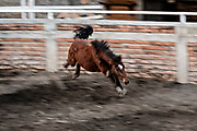 A wild mare bucks as it is pulled to the ground after being roped by charros in a move called horse-tripping during a practice session in the Jalisco Highlands town of Capilla de Guadalupe, Mexico. The roping event is called Manganas a Caballo or Roping on Horseback and involves a charro on horse roping a wild mare by its front legs to cause it to fall and roll once.