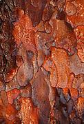 Wet tree bark of Scots Pine tree ( Pinus sylvestris)