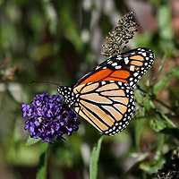 A Monarch Butterfly, Danaus plexippus, feeding with wings folded on a butterfly bush. New Jersey, USA, North America