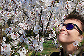 Wachau - Apricot Blossom (Marillenblüte)