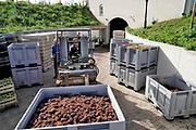 Nederland, Groesbeek, 11-9-2018 Bij het nationaal wijnbouwcentrum wordt de druivenoogst van dit seizoen verzamelt en gaat wijnmaker Adam Dijkstra er iets moois van maken...  De oogst is dit jaar vroeg vanwege het warme en droge weer. De druiven zijn van hoge kwaliteit . Het dorp Groesbeek afficheert zichzelf als het wijndorp van Nederland omdat er de jaarlijkse wijnfeesten zijn en verschillende boeren druiven verbouwen, zoals biologische wijngaard de Colonjes . De oogst dit jaar is goed, met een hoog suikergehalte . Foto: Flip Franssen