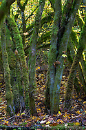 A group of Vine Maple (Acer circinatum) trunks at Campbell Valley Park in Langley, British Columbia, Canada